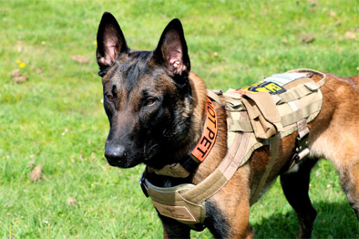 Belgian Malinois Guard Dog